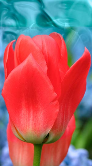 Tulip-Sweet-Lady.