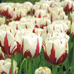 ТЮЛЬПАН Ворлд Експрешн (Tulip World Expression)