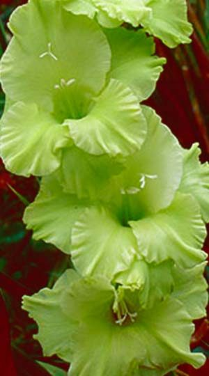 Гладиолус Грин Стар ( Gladiolus Green Star )