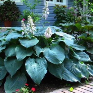 hosta-big-daddy-