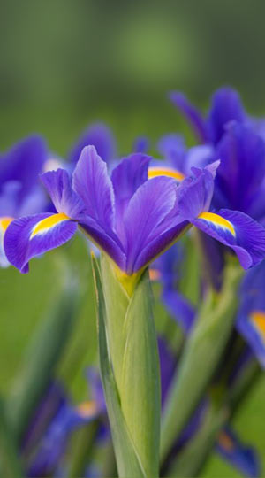 iris-blue-magic
