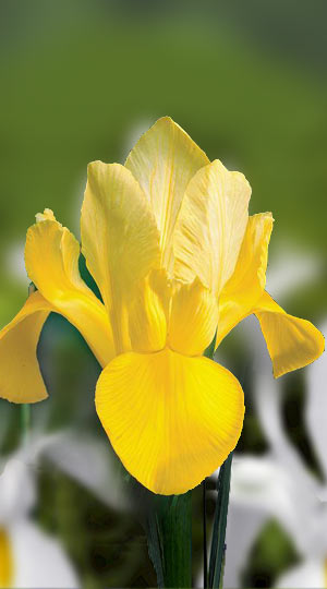 iris-golden-beauty