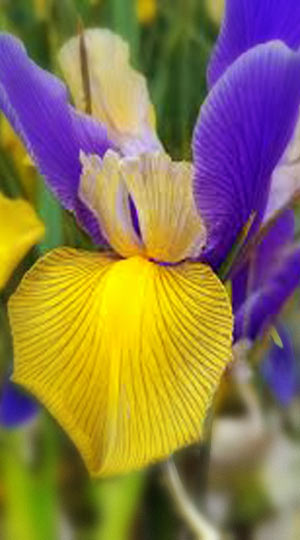 iris-mystic-beauty