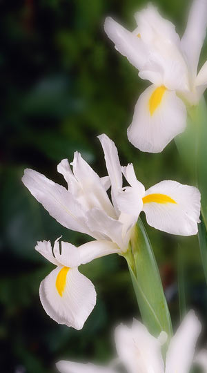 iris-white-magic