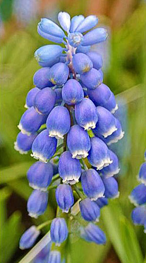 muscari-atlantic