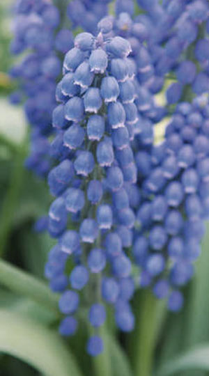 muscari-big-smile