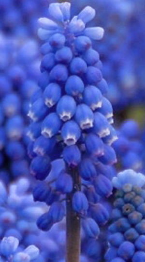 muscari-blue-magic