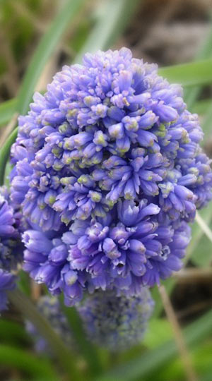 muscari-blue-spike