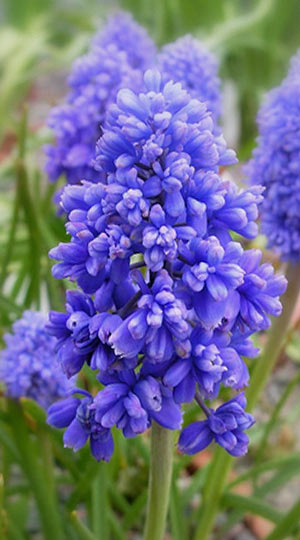 muscari-fantasy-creation