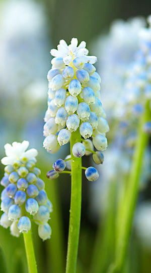 muscari-lady-blue