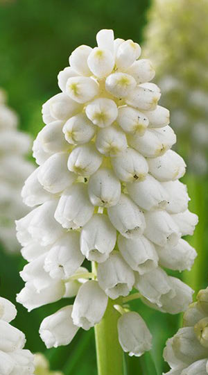muscari-white-magic