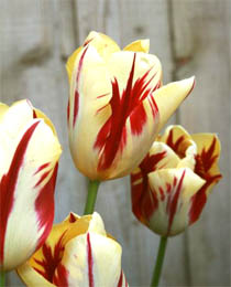 tulipa-grand-perfection