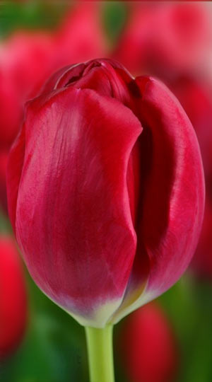 tulipa-red-power