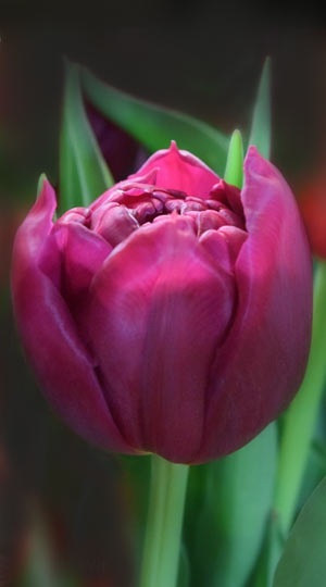 tulipa-world-bowl
