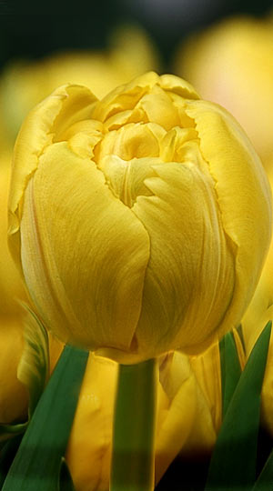 tulipa-yellow-margarite