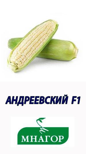 АНДРІЇВСЬКИЙ-F1-гібрид-солодкої-кукурудзи-МНАГОР