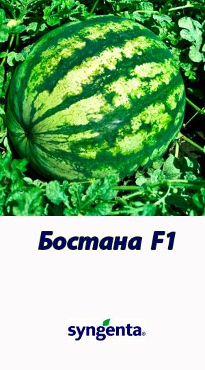 Bostana-F1-gibrid-arbuza-Syngenta