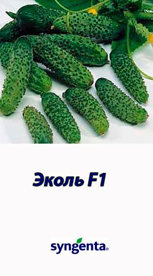 E`kol-F1-gibrid-ogurtsa-Syngenta