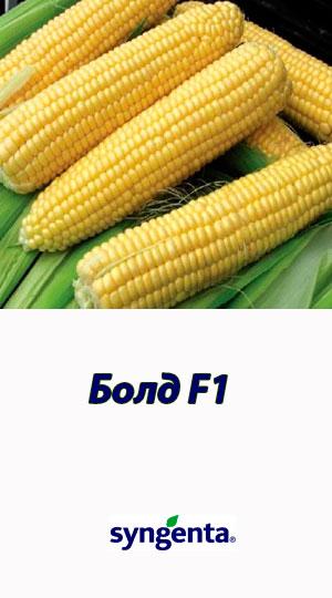 Kukuruza-BOLD-F1-sladkiy-gibrid-Syngenta