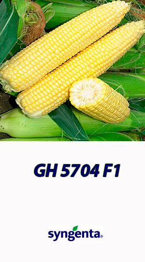 Kukuruza-GH-5704-F1-saharnaya-kukuruza-Syngenta