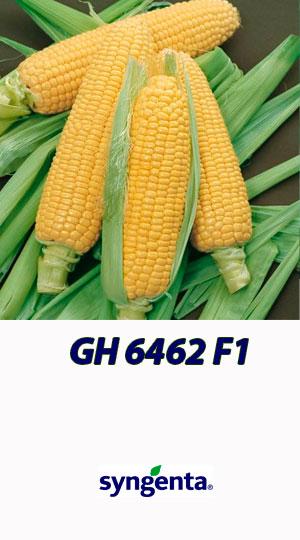 Kukuruza-GH-6462-F1-gibrid-sladkoy-kukuruzyi-Syngenta