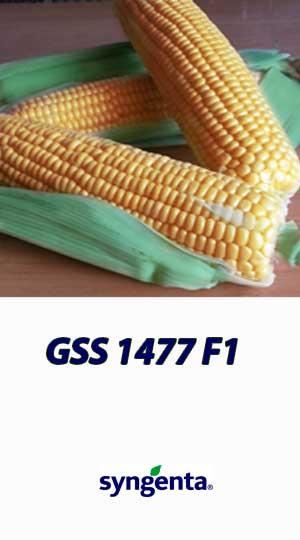Kukuruza-GSS-1477-F1-gibrid-sladkoy-kukuruzyi-Syngenta