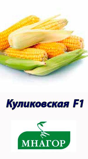 kukuruza-kulikovskaya-f1-gibrid-sladkoy-kukuruzyi-mnagor