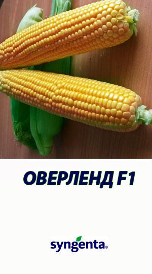 Kukuruza-OVERLEND-F1-gibrid-sladkoy-kukuruzyi-Syngenta