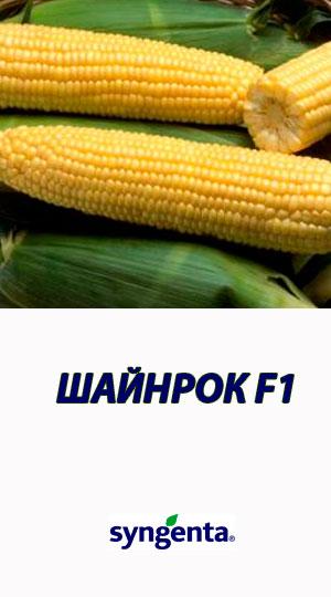 Kukuruza-SHAYNROK-F1-sladkaya-kukuruza-Syngenta