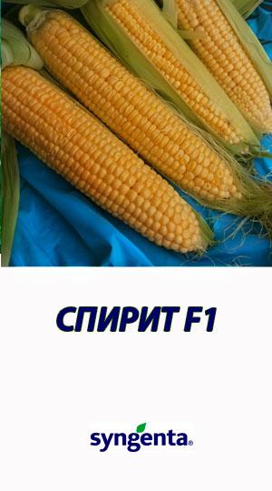 Kukuruza-SPIRIT-F1-Syngenta