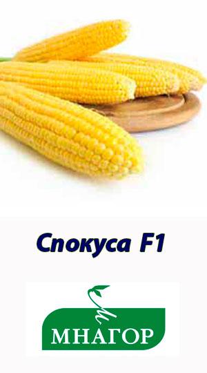 kukuruza-spokusa-f1-mnagor