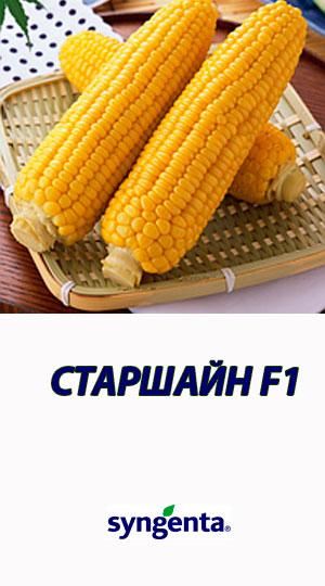Kukuruza-STARSHAYN-F1-gibrid-sladkoy-kukuruzyi-Syngenta