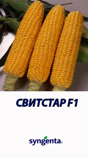 Kukuruza-SVITSTAR-F1-gibrid-sladkoy-kukuruzyi-Syngenta