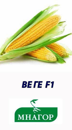 Kukuruza-VEGA-F1-gibrid-MNAGOR