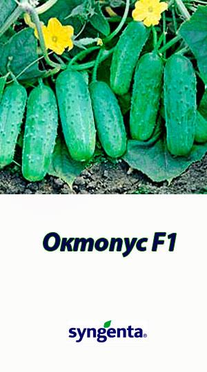Oktopus-F1-gibrid-ogurtsa-Syngenta