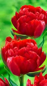 Тюльпан Абба 500 цибулин