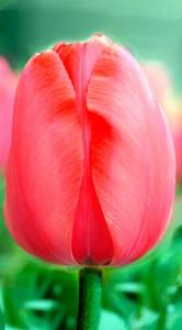 Тюльпан Акрополь 500 цибулин