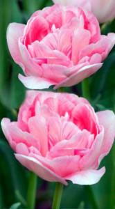 Тюльпан Анжелика 500 луковиц