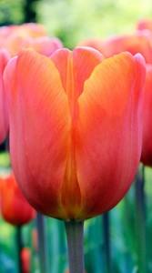 Тюльпан Ані Шилдер 500 цибулин
