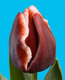 Тюльпан Армані 500 цибулин