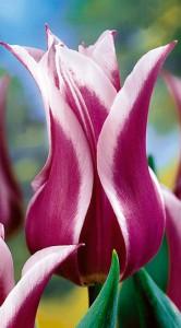 Тюльпан Балада 500 цибулин