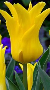 Тюльпан Балада Голд 500 цибулин