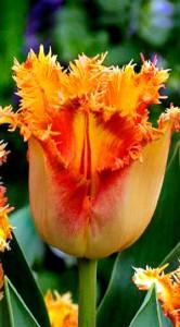 Тюльпан Боллрум 500 цибулин
