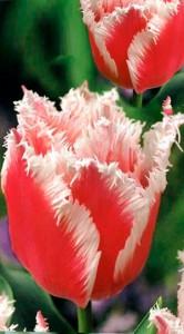 Тюльпан Белль Сонг 500 цибулин