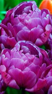 Тюльпан Блю Даймонд 500 луковиц