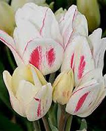 Тюльпан Канди Клаб (Tulip Candy Club)