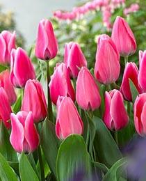 Тюльпан Капрі 500 цибулин