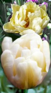 Тюльпан Касабланка 500 луковиц