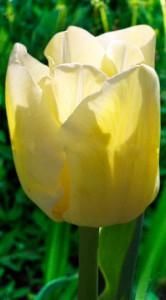 Тюльпан Чірс 500 цибулин