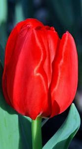 Тюльпан Ескейп 500 цибулин
